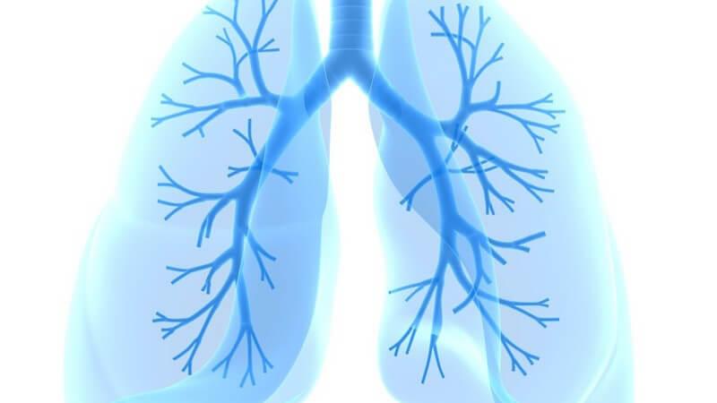 Anatomie - Grafik der Lunge mit Bronchien