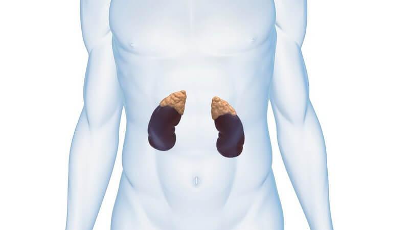 Grafik männlicher Körper, Nieren und Nebennieren