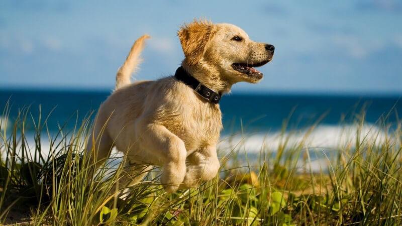 Hund in den Dünen am Meer