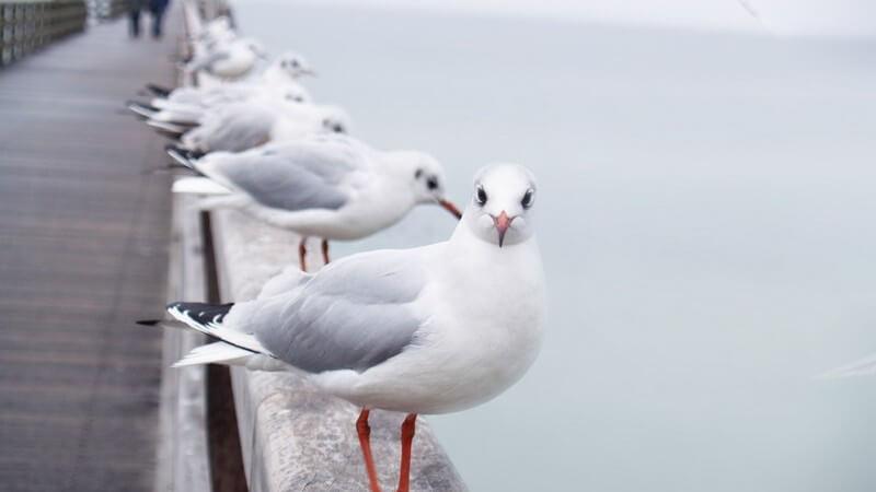 Möwen auf Holzbrücken Geländer am Meer