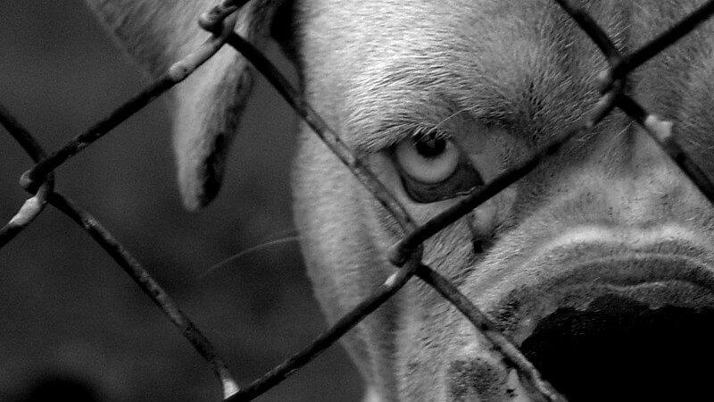 Schwarz-weiß Bild Kampfhund lauert hinter Zaun