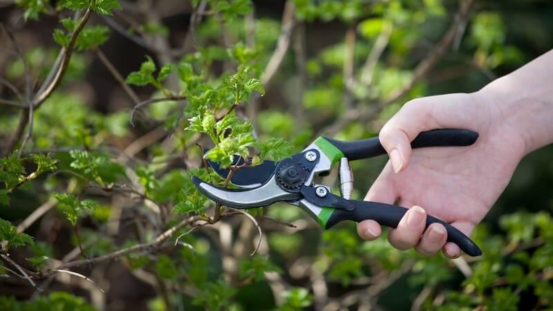 Zweige eines Busches werden mit Gartenschere abgeschnitten