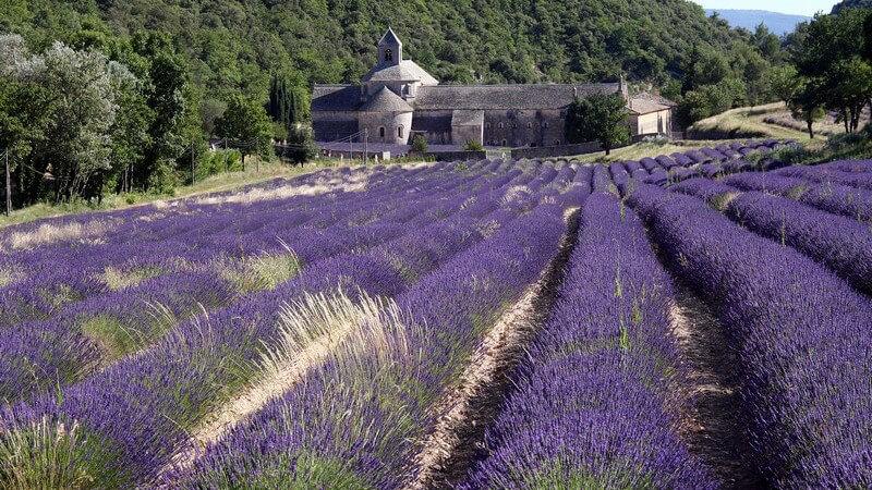 Abtei von Sénanque, Frankreich, davor Lavendelfeld