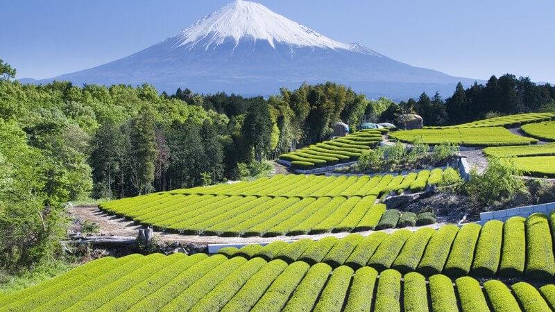 Naturaufnahme Felder mit grünem Tee vor Berg