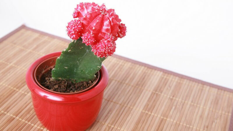 Kaktus mit Blüte in rotem Blumentopf auf Tischset, weißer Hintergrund